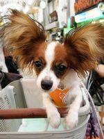 Tipos de antibióticos para las infecciones del oído del perro