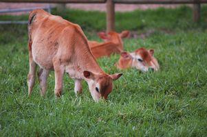 Información acerca vacas Jersey