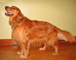 Remedios caseros para perros Dar brillante Coats