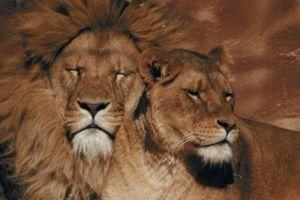 Número aproximado de Leones en el Wild