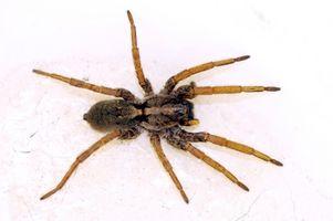 Las arañas comunes canadienses