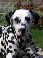 Los pesticidas pulgas y cáncer canino