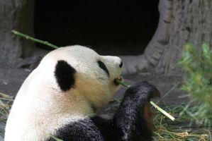 Datos divertidos sobre los chinos Gran Panda