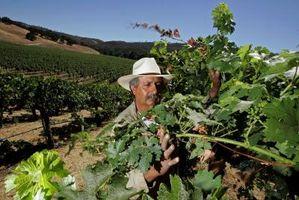 Cómo conservar hojas de la uva