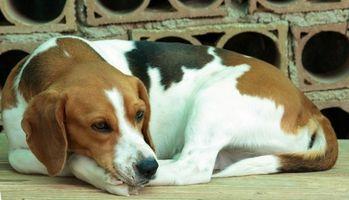 Las alergias del perro Beagle