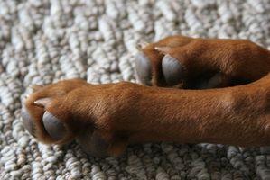 Heridos almohadillas de las patas de los perros