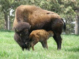 Buffalo Roundup en Custer State Park en Dakota del Sur