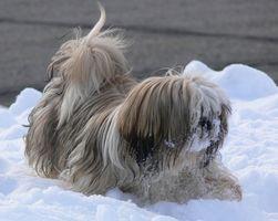Peligros de las Pulgas andTick Medicamentos para Perros