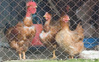 Cómo mantener una comadreja De un gallinero
