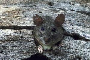 Hábitat de Brown salvaje Rata