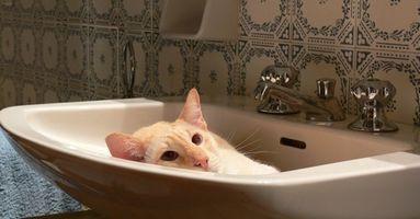Cómo dar un gato embarazada de un baño de la pulga