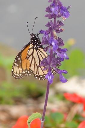 ¿Cómo encontrar las mariposas monarca en California
