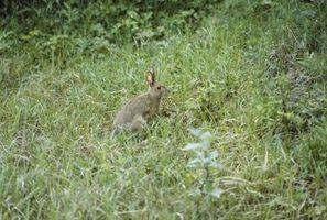 ¿Qué tipo de clima vive un conejo de rabo blanco En?