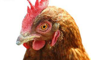 Cómo alimentar a los perros Alas de pollo sin procesar