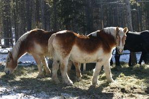 Cómo cuidar a un caballo belga