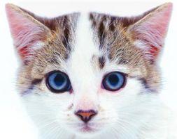 Orejas secas y agrietadas en los gatos