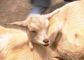 Las etapas del parto en una cabra