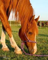 Cómo tratar el síndrome de intestino irritable en los caballos