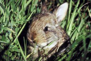 Cómo criar conejos de rabo blanco del este