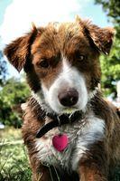 Cómo cuidar de los cachorros Mini australianos
