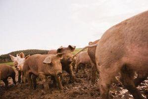 Cómo criar cerdos y hacer dinero
