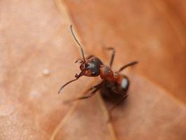 Cómo comprar una hormiga reina o Colonia