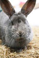 Lo que alimentar a los conejos para recortar los dientes