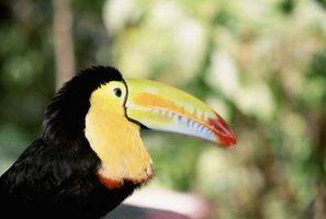 Frutas aves que se alimentan en la selva tropical
