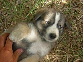 Cómo cuidar de un cachorro de pastor australiano