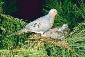 Cómo cuidar de una paloma de luto