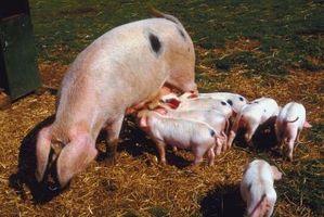 Lo que se puede esperar con un cerdo embarazada