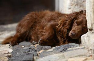 Riñón canino enfermedades y tratamiento: