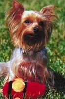 ¿Cómo puedo entrenar a un perro para ir al baño Yorkie juguete?