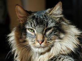 La información sobre los anquilostomas en los gatos