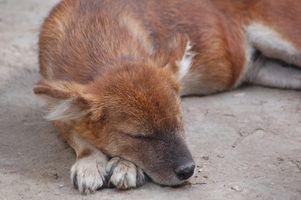 Dectomax para tratar la sarna del perro