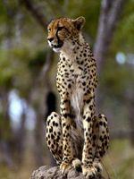 Datos acerca de los guepardos