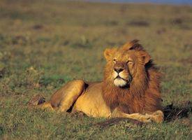 Gatos son descendientes de los leones?