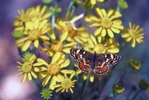 ¿Qué hacen las orugas, crisálidas y mariposas alimentan?