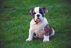 Cómo alimentar a un cachorro de Bulldog Mush bebé