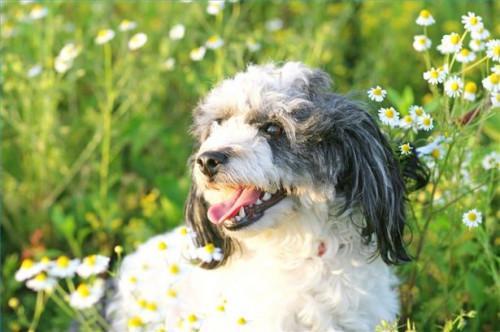 Protección natural de la pulga para los perros