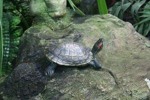 Cómo saber el sexo de una tortuga mapa