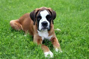 Las etapas del parto en perros Boxer