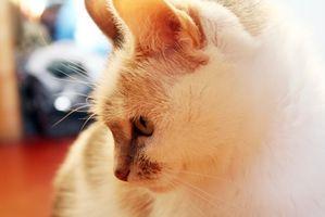 El tratamiento para la insuficiencia renal en los gatos