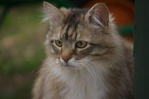 Más viejos problemas de salud del gato
