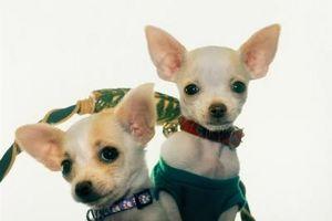 Los perros lo puede usted monta con un Chihuahua femenina?