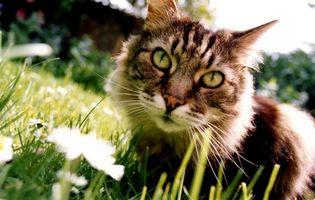 Cómo determinar los colores de un gatito atigrado
