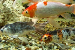 ¿Cómo saber si un pez es hombre o mujer?