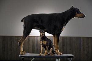 Cómo saber si son los perritos del Doberman