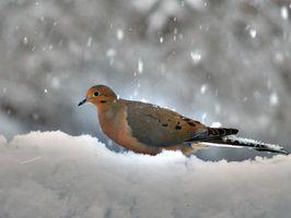 Cómo limpiar una paloma para Comer