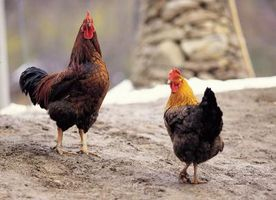 Cómo controlar los ácaros del pollo Naturalmente
